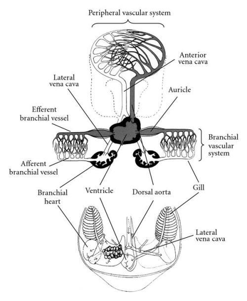 Blank Heart Diagram Circulatory System